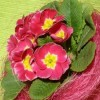 Primula gondozása házilag