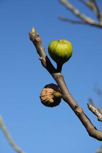 Fügefa gondozása és szaporítása házilag