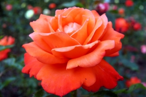 Illatos rózsavíz készítése házilag
