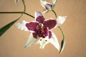 Trópusi orchidea átültetése házilag